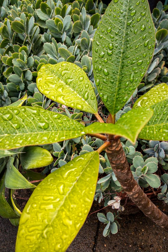 It`s Raining Frangipani by Nissin